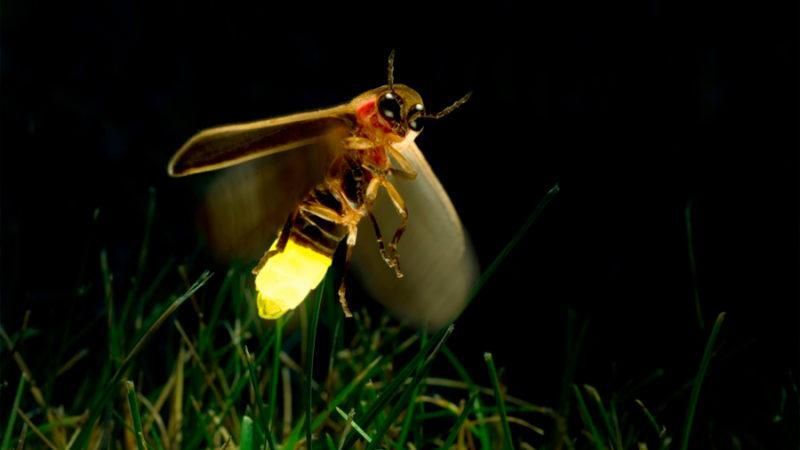 ¿Cómo funciona una luciérnaga?: Historias de la luz y la materia