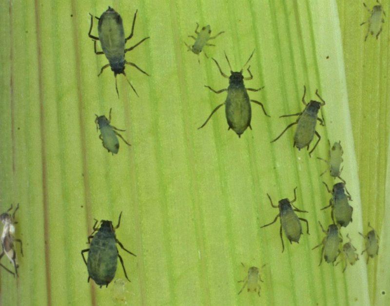 EU desarrolla programa para usar insectos comoarma biológica