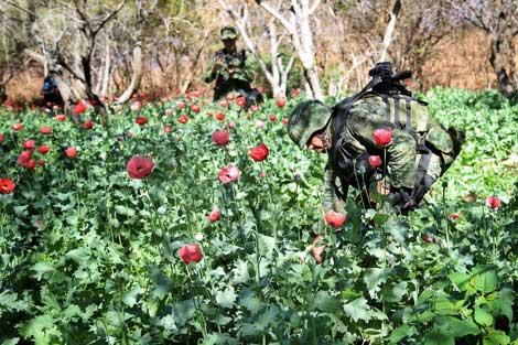 Cultivar amapola en Guerrero, de la riqueza a la pobreza; riesgo de hambruna enzonas serranas por baja de precio de la goma de opio