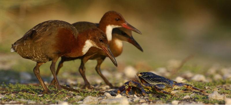 Reaparece especie de ave que se extinguió hace 136 mil años