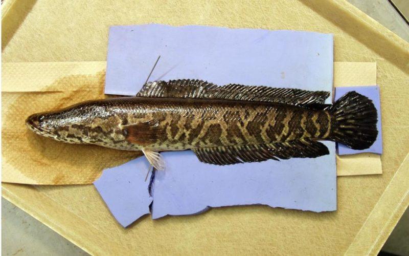 """""""¡Mátenlo de inmediato!"""": confirman presencia de peligroso pez cabeza de serpiente"""