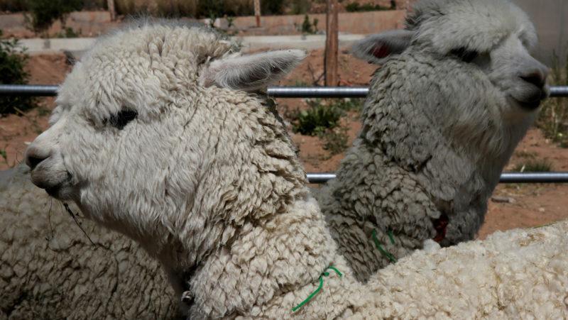 """Científicos chilenos descubren un """"fuerte"""" anticuerpo contra el covid-19 en las alpacas"""