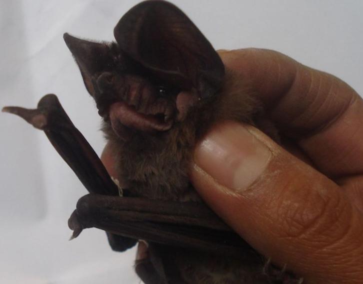 Expertos encuentran cientos de posibles nuevos coronavirus en los murciélagos de China: El País