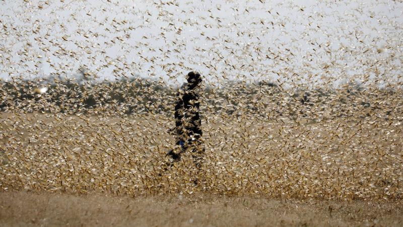En plena pandemia, una plaga de langosta impacta en Africa Oriental. Experto lo atribuye al cambio climático