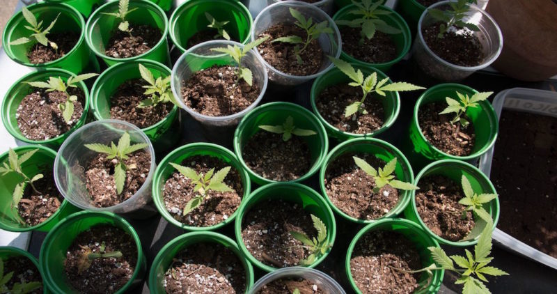 Empresarios piden al Gobierno aprovechar T-MEC para comercializar cannabis en Norteamérica y así superar la crisis económica