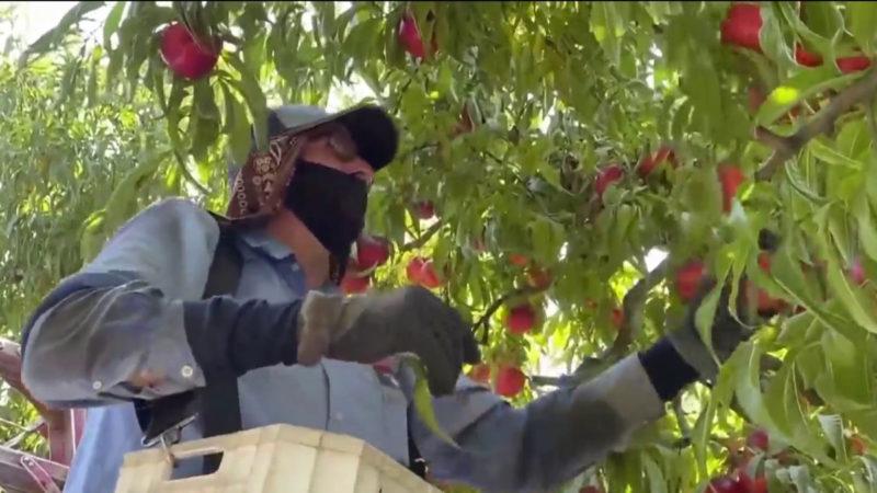 Dificultades de trabajo de campesinos en la ola de calor de California llegan a la Convención Demócrata