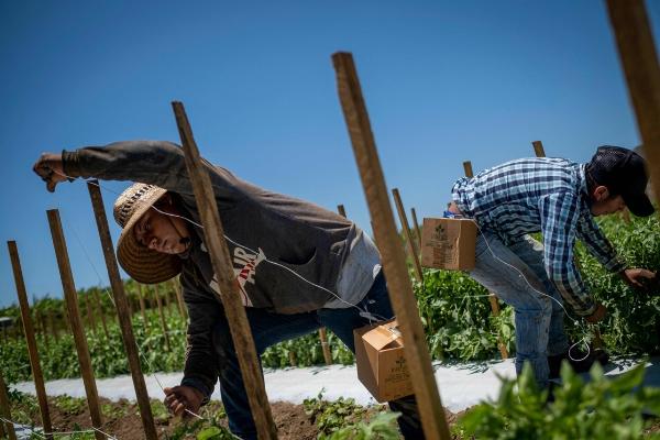 Revira México: en EU los jornaleros mexicanos son víctimas de abusos laborales y de desprotección sanitaria ante el COVID-19